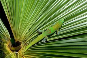 gecko camouflé photo