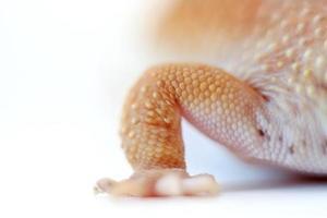 jambe de gecko léopard photo