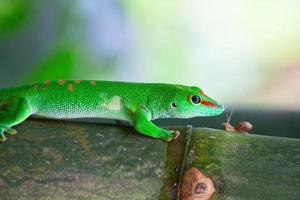 gecko vert photo