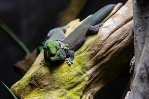 les lézards aiment photo