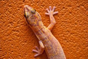 Gecko en velours marbré en Australie centrale photo