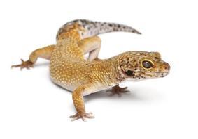 Gecko léopard hypomélaniste, eublepharis macularius, en face de fond blanc photo