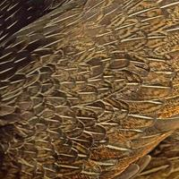 plume de poulet photo