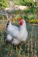 poulet au jardin photo