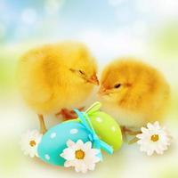 poulets de Pâques. photo
