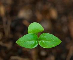 semis poussant dans la serre photo