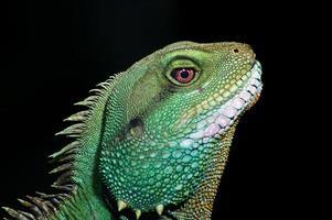Tête d'iguane vert de profil dans le parc zoologique de chester uk photo