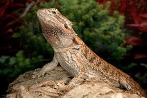 dragon barbu photo