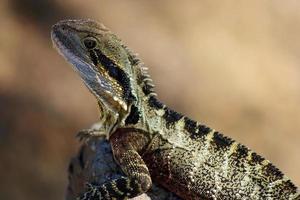 dragon d'eau de l'est bronzer au soleil photo