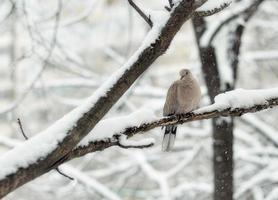 pigeon en hiver photo