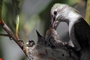 colibri nourrir les poussins photo
