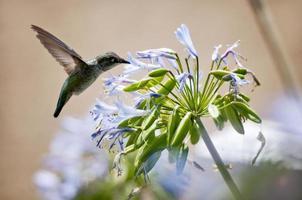 colibri en train de déjeuner