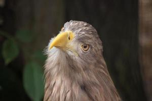 aigle à queue blanche (haliaeetus albicilla).