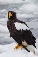 aigle de mer de Steller photo