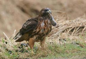 faucon à queue rousse avec campagnol photo