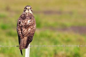 Faucon à queue rouge photo