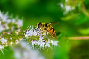 mouches syrphides photo