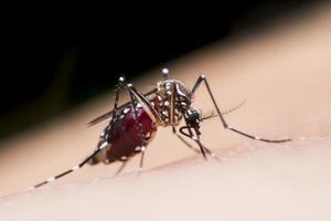 le moustique boit le sang de l'homme photo