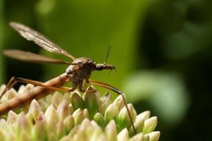 moustique se reposant sous une fleur verte