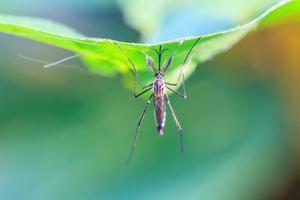 moustique sur feuille verte photo
