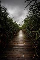 chemin en bois à travers le roseau