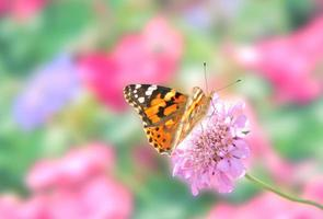 papillon dame peinte