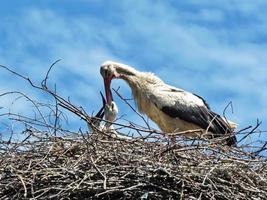 grue nourrir ses jeunes sur le fond de ciel photo