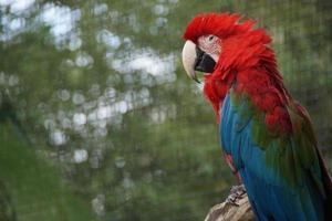 perroquet rouge photo