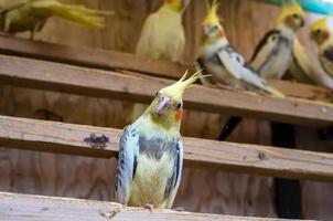 perroquet jaune photo
