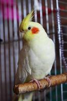 perroquet effronté calopsitte photo