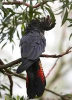 cacatoès noir à queue rouge photo
