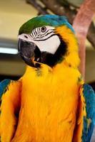 Gros plan perroquet coloré tourné sur vert photo