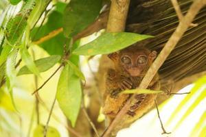 tarsier photo