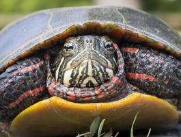 Gros plan visage tortue peinte