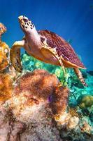 tortue imbriquée - eretmochelys imbricata photo