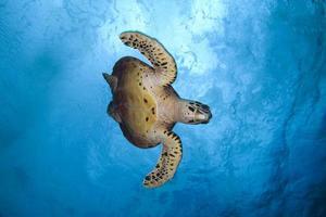 tortue imbriquée / tortue ã ã © caille photo