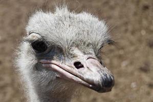 avestruz photo
