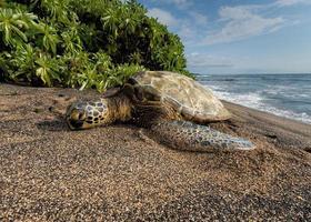 tortue verte sur la plage à hawaii photo