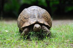 tortue africaine dans l'herbe