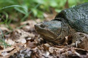 tortue serpentine photo