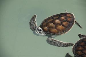 bébés tortues