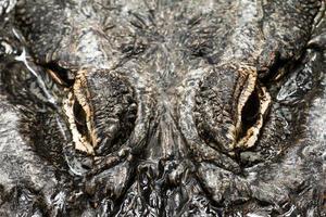 yeux d'alligator photo