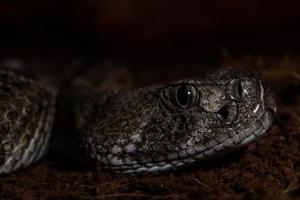 Texas rattle snake close up prêt à frapper de l'obscurité photo