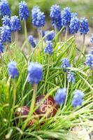 Oeufs de Pâques traditionnels teints dans les fleurs fraîches de printemps photo