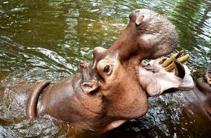 hippopotame géant a ouvert la bouche sur l'eau. photo