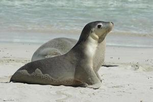 lions de mer australiens, australie photo