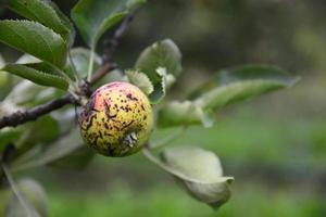 fruit de pomme photo