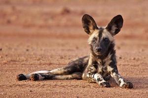 chien de chasse cape photo