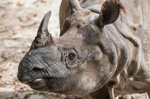 rhinocéros à une corne, rhinocéros indien (rhinoce ros uni photo