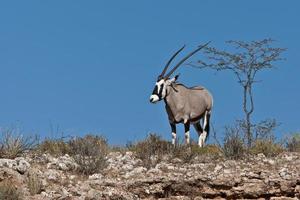 kalahari gemsbok photo